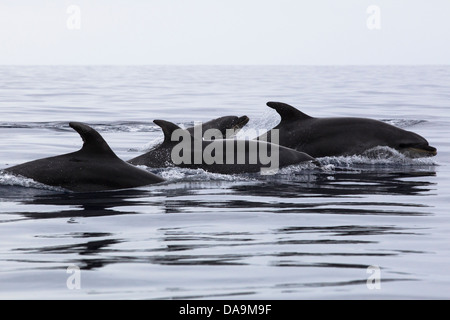 Bottlenose Dolphin, Tursiops truncatus, Großer Tümmler, group surfacing together, Lajes do Pico, wild dolphins, - Stock Photo