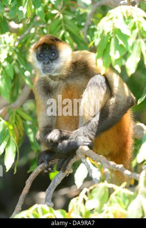 Central America, Nicaragua, Granada, las islas, islands, Lago Nicaragua, monkey, animal - Stock Photo