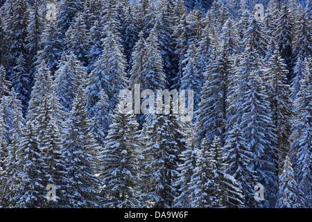 Alps, trees, spruce, spruces, snow, Switzerland, Europe, sun, sunshine, fir, firs, wood, forest, winter, alpine, - Stock Photo