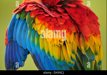 Peru, Amazon, Macaw, parrot, bird, colour, jungle, wildlife, feather, feathers, - Stock Photo