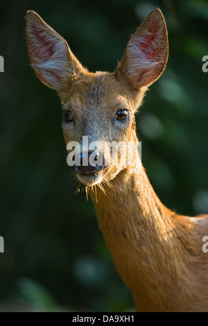 Close-up of a female roe deer (Capreolus capreolus) in woodland - Stock Photo