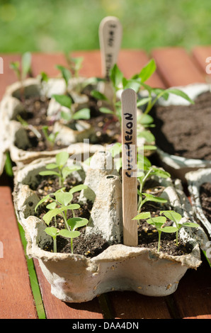 Growing seedlings in used egg boxes with ice cream sticks as labels. Recycling in gardening. Cucamelon seedlings. - Stock Photo