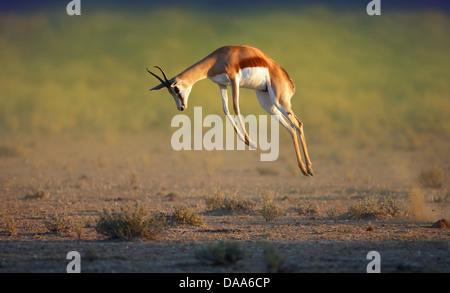 Running Springbok jumping high - Antidorcas Marsupialis - Kalahari - South Africa - Stock Photo