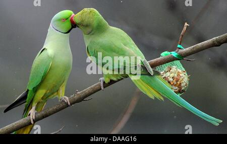 A file pictures taken on 12 February 2010 shows two rose-ringed parakeets in an argument for food at a park in Duesseldorf, - Stock Photo