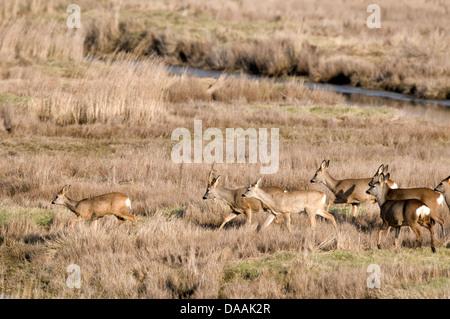 Europe, Roe Deer, Capreolus capreolus, herd, bevy, Field, animal, - Stock Photo
