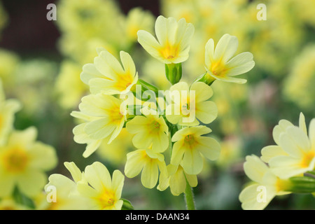 Flower, blossom, flourish, detail, cowslip, spring, macro, close-up, Primula veris, Switzerland, Europe, wood, forest, - Stock Photo
