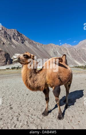 Bactrian camel in Himalayas. Hunder village, Nubra Valley, Ladakh, Jammu and Kashmir, India - Stock Photo