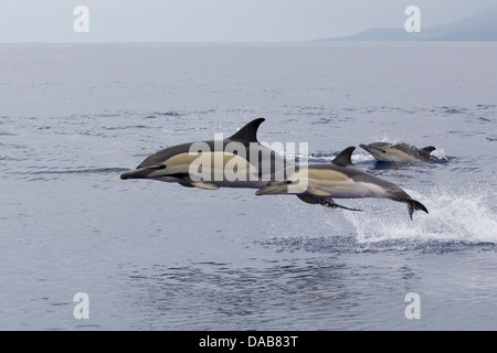 Gemeiner Delphine, Short-beaked Common Dolphins, Delphinus delphis,  calf leaping next to mother, Pico, Azores, - Stock Photo