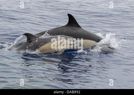 Gemeiner Delphine, Short-beaked Common Dolphins, Delphinus delphis,  calf surfacing next to mother with eye visible - Stock Photo