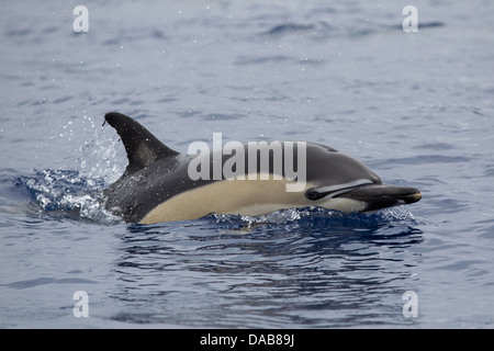 Gemeiner Delphin, Short-beaked Common Dolphin, Delphinus delphis, surfacing with eye visible, Lajes do Pico, Azores, - Stock Photo