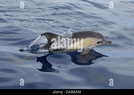 Gemeiner Delphin, Short-beaked Common Dolphin, Delphinus delphis, juvenile dolphin surfacing, Lajes do Pico, Azores, - Stock Photo
