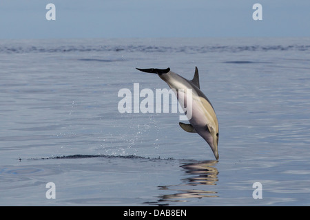 Gemeiner Delphin, Short-beaked Common Dolphin, Delphinus delphis, leaping in Lajes do Pico, Azores, Portugal - Stock Photo