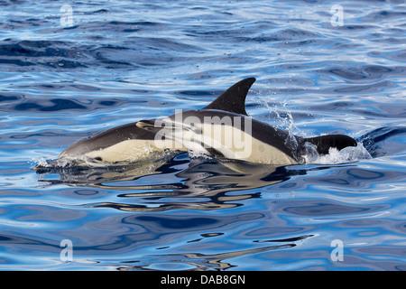 Gemeine Delphine, Short-beaked Common Dolphins, Delphinus delphis, pair surfacing, Lajes do Pico, Azores - Stock Photo