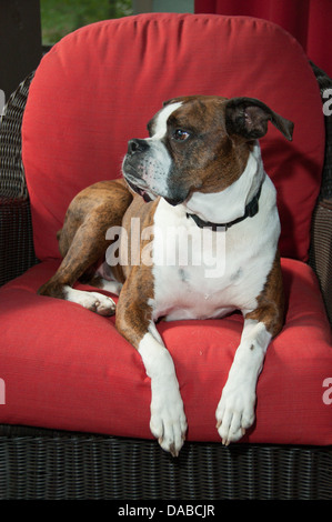 Rescued brown modeled boxer dog sitting indoors on a red chair looking at the camera. - Stock Photo
