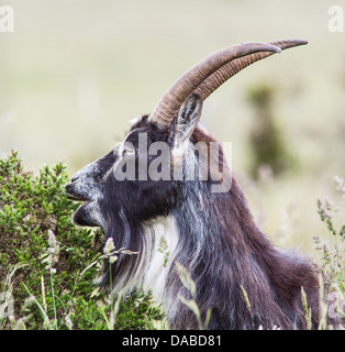 British primitive goat grazing on prickly gorse leaves at Cheddar Gorge Mendips Somerset UK - Stock Photo