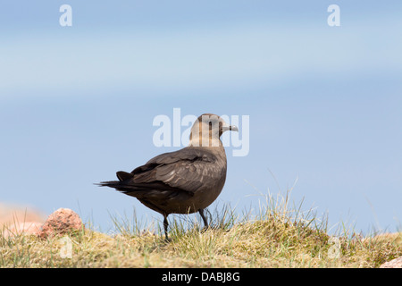 Arctic Skua; Stercorarius parasiticus; Shetland; UK - Stock Photo