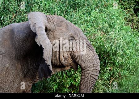 African Elephant headshot Loxodonta cyclotis against a background of greenery - Stock Photo