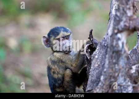 Young Olive Baboon Papio cynocephalus anubis clinging to the branch of a tree - Stock Photo