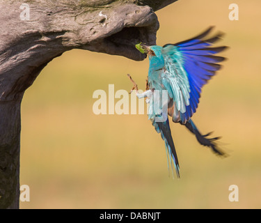 Wild European roller (Coracias garrulus) flying into its nest with food for chicks - Stock Photo