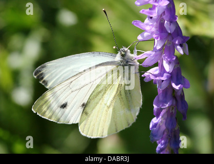Detailed macro close-ups of  Green-veined Whites (Pieris Napi) on various flowers, and also mating (over 80 images - Stock Photo