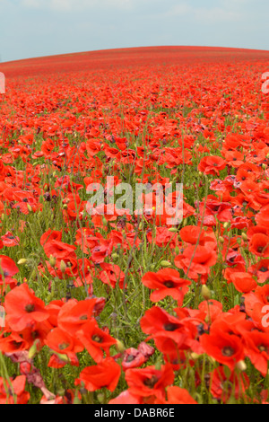 Red poppy field, Newhaven town, Sussex, England. - Stock Photo