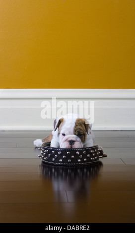 Bulldog puppy sitting inside of his fathers black spiked collar - Stock Photo