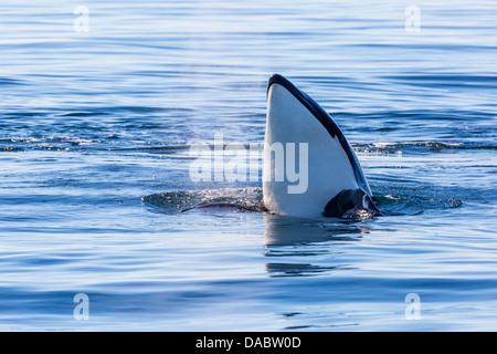 Killer whale, Orcinus orca, spy-hopping in Cattle Pass, San Juan Island, Washington, United States of America, USA - Stock Photo