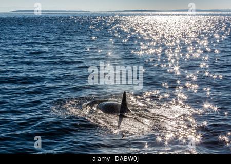 Resident killer whale, Orcinus orca, Cattle Pass, San Juan Island, Washington, United States of America, North America - Stock Photo