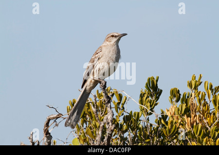 Bahama mockingbird (Mimus gundlachii) adult perched in bush against blue sky, Cayo Coco, Cuba, Caribbean - Stock Photo