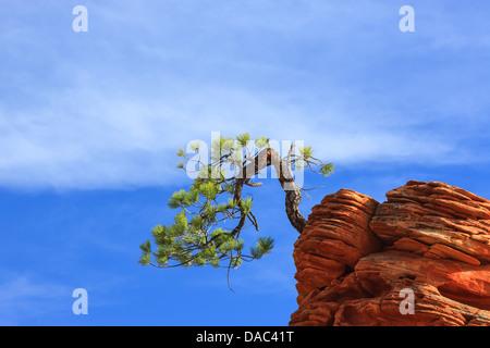 Pinyon pine (Pinus edulis) on sandstone at Zion National Park - Stock Photo