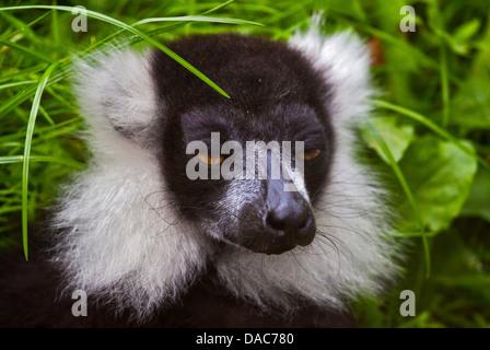 Black and White Ruffed Lemur (varecia variegata variegata) - Stock Photo