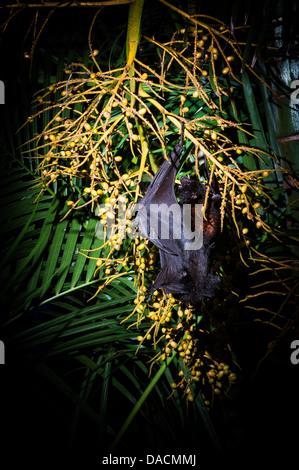 Black Flying Fox (Pteropus alecto)feeding on palm tree seeds, Brisbane, Queensland, Australia - Stock Photo