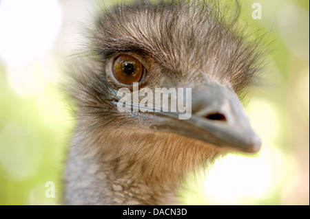 close up of an emu about to peck at the camera. - Stock Photo