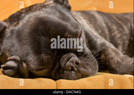 Sleeping French Bulldog puppy - Stock Photo