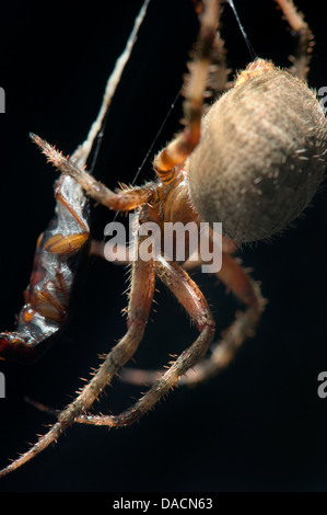 Close up of an orb weaving spider ( Neoscona crucifera) wrapping an insect in its web. - Stock Photo