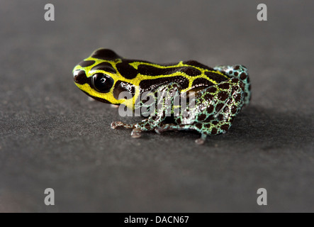 yellow black and green spotted poison dart frog (genus Ranitomeya) - Stock Photo