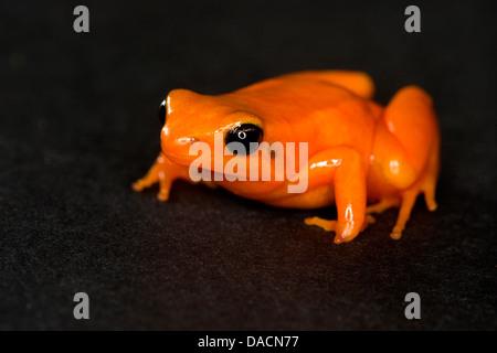 Orange colored strawberry poison dart frog on a black background. - Stock Photo