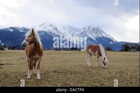 Pferde stehen am Donnerstag (15.12.2011) in der Nähe von Garmisch-Partenkirchen auf einer Wiese, während im Hintergrund die Zugspitze zu sehen ist. Für die Jahreszeit liegt in Bayern ungewöhnlich wenig Schnee. Foto: Tobias Hase dpa/lby Stock Photo