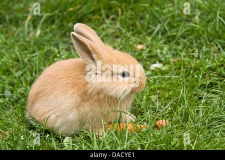 Lionhead rabbit (Oryctolagus cuniculus f. domestica), sitting on a meadow - Stock Photo