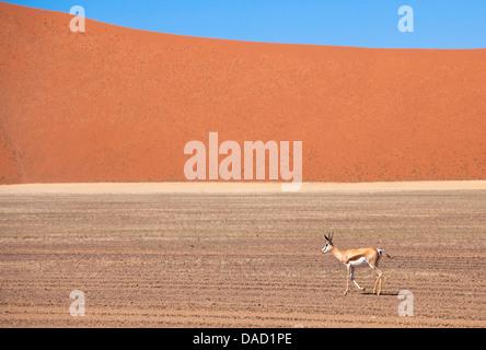 Springbok and orange sand dune in the ancient Namib Desert near Sesriem, Namib Naukluft Park, Namibia, Africa - Stock Photo