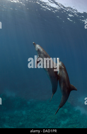 Two wild Indo-Pacific bottlenose dolphins (Tursiops aduncus) swim to the surface. - Stock Photo