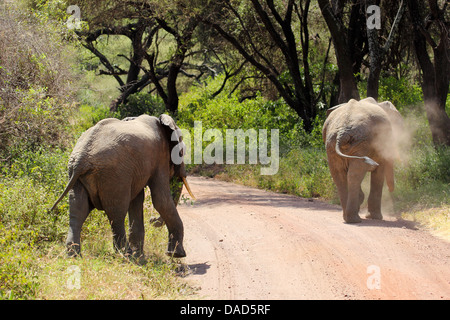 Two african elephants (Loxodonta Africana) crossing a road in Lake Manyara National Park, Tanzania - Stock Photo