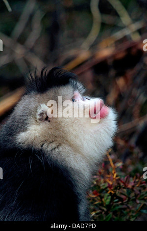 Black snub-nosed monkey, Yunnan snub-nosed monkey (Rhinopithecus bieti), looking up, China, Yunnan, Baima Snow Mountain - Stock Photo