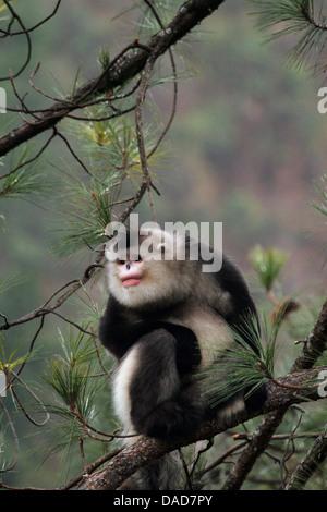 Black snub-nosed monkey, Yunnan snub-nosed monkey (Rhinopithecus bieti), sitting on a pine, China, Yunnan, Baima - Stock Photo