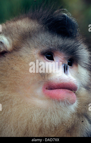 Black snub-nosed monkey, Yunnan snub-nosed monkey (Rhinopithecus bieti), portrait, China, Yunnan, Baima Snow Mountain - Stock Photo