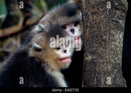 Black snub-nosed monkey, Yunnan snub-nosed monkey (Rhinopithecus bieti), pair behind a tree trunk watching, China, - Stock Photo