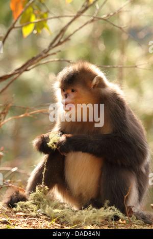 Black snub-nosed monkey, Yunnan snub-nosed monkey (Rhinopithecus bieti), female eats lichens, China, Yunnan, Baima - Stock Photo