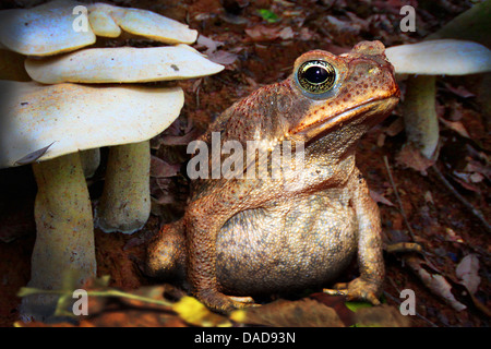Giant toad, Marine toad, Cane toad, South American Neotropical toad (Bufo marinus, Rhinella marina), sitting on - Stock Photo