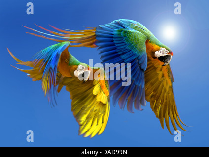 Blue and yellow macaw, Blue and gold Macaw, Blue-and-gold Macaw, Blue-and-yellow Macaw (Ara ararauna), two birds - Stock Photo