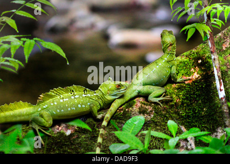 green basilisk, plumed basilisk, double-crested basilisk (Basiliscus plumifrons), two exemplars sitting on a mossy - Stock Photo